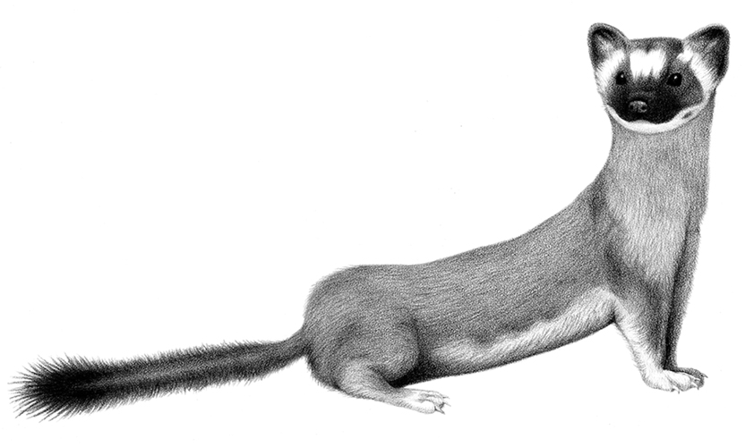 Long-tailed Weasel (Pencil on paper, 2012)