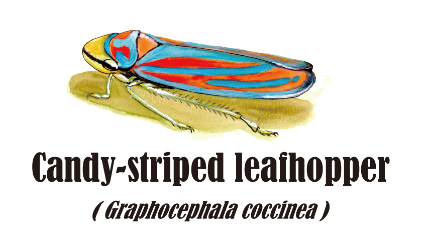 Candy-striped leafhopper (Watercolor, 2013)