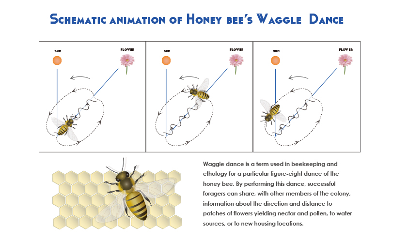 Honey bee's Waggle Dance (Illustrator, 2013) <br /> <i>Honey bee image is licensed under CC-BY 4.0 ©Togo picture gallery by DBCLS</i>
